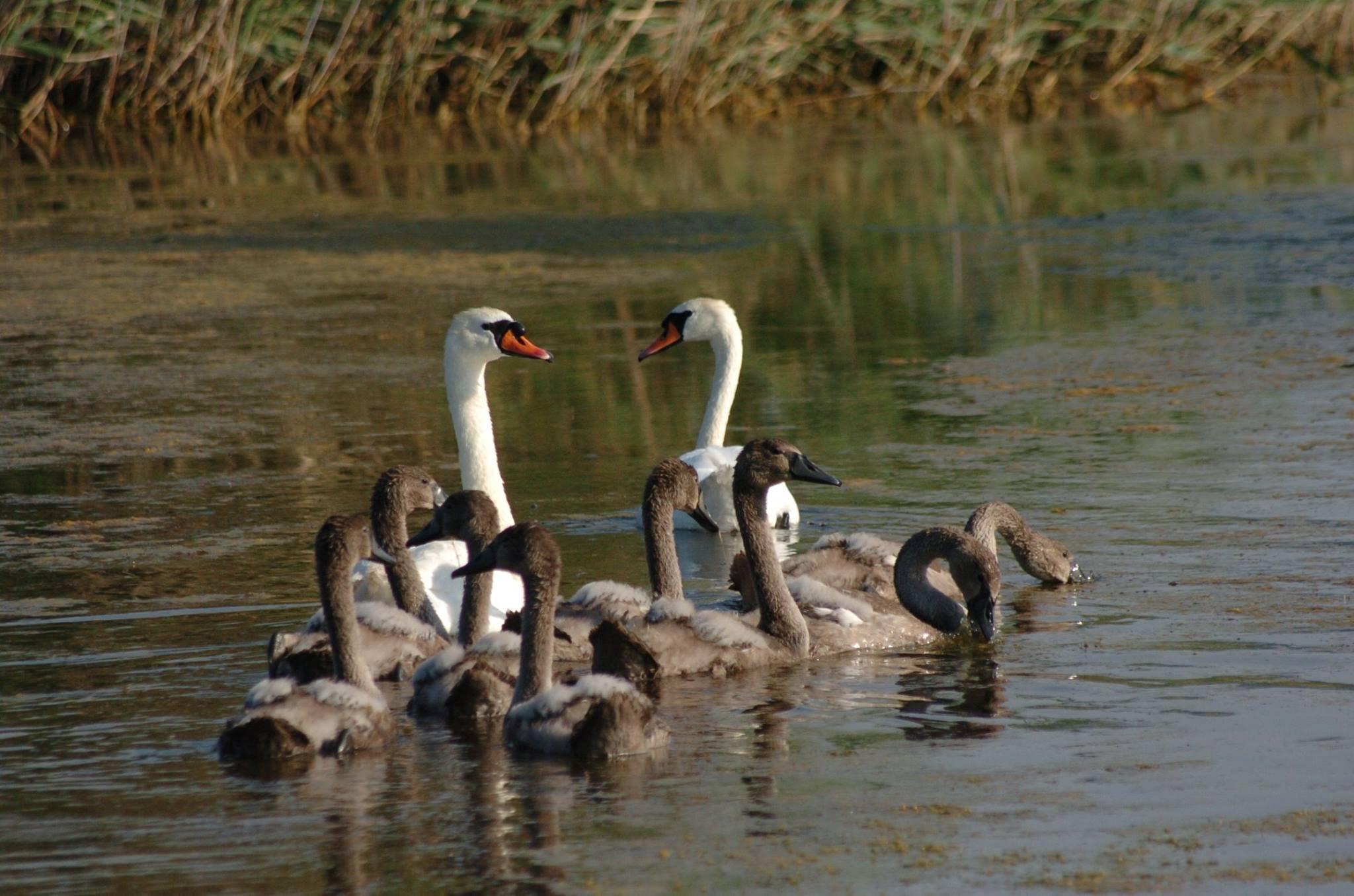 Η λίμνη των κύκνων… στη Βόρεια Εύβοια